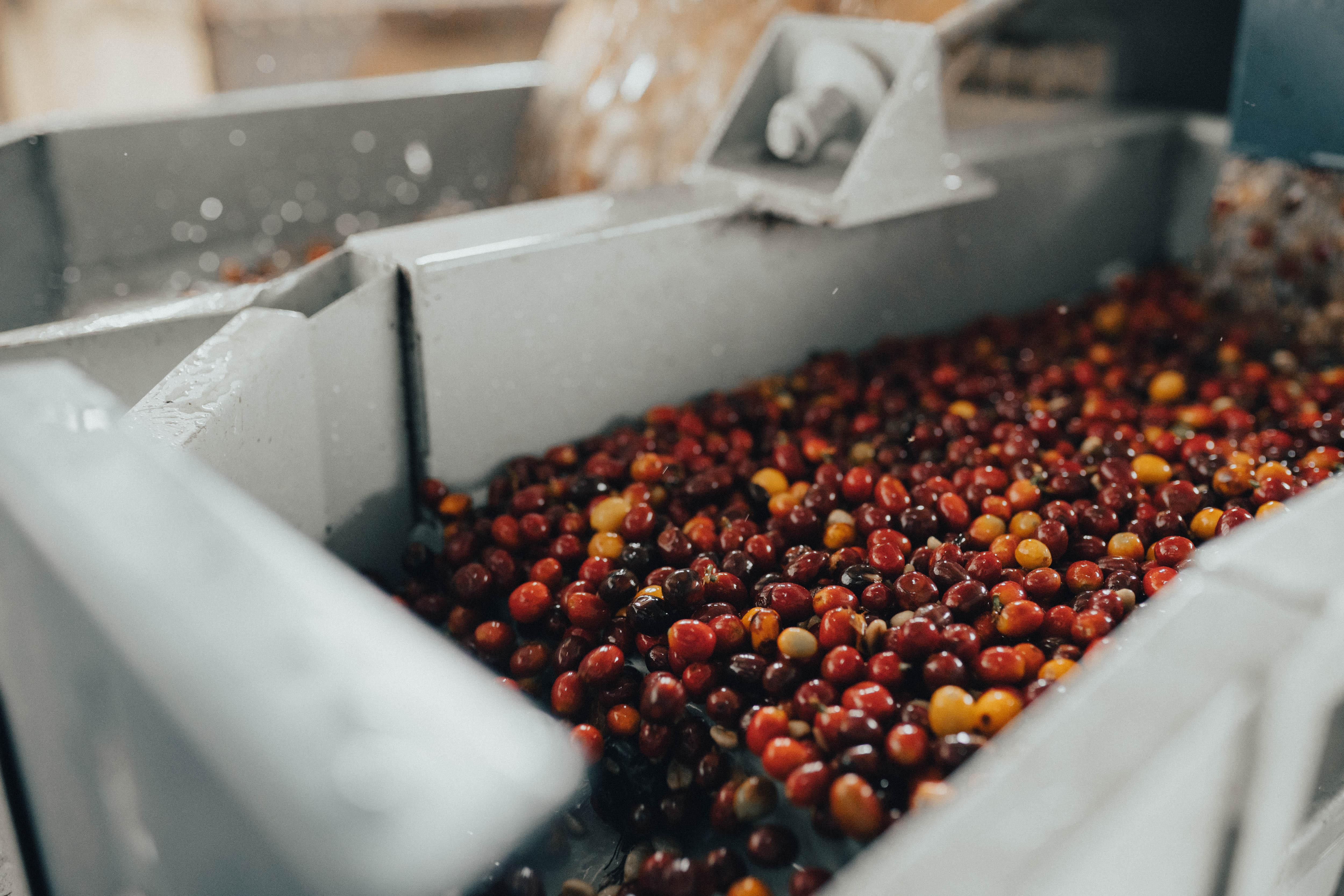 Sorting Coffee Cherries at Wet Mill