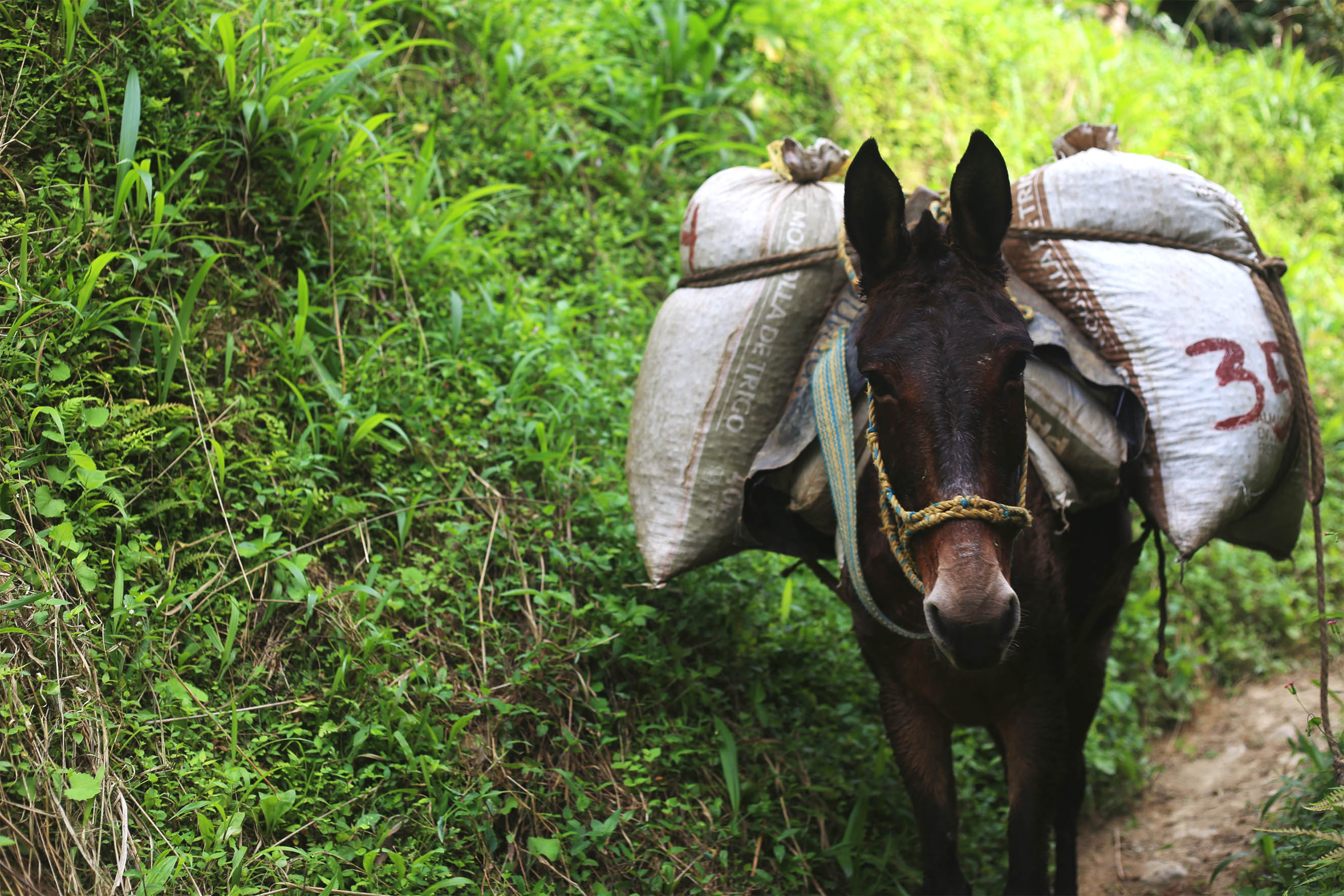 Mules bring the coffee from the plantation to the processing plant