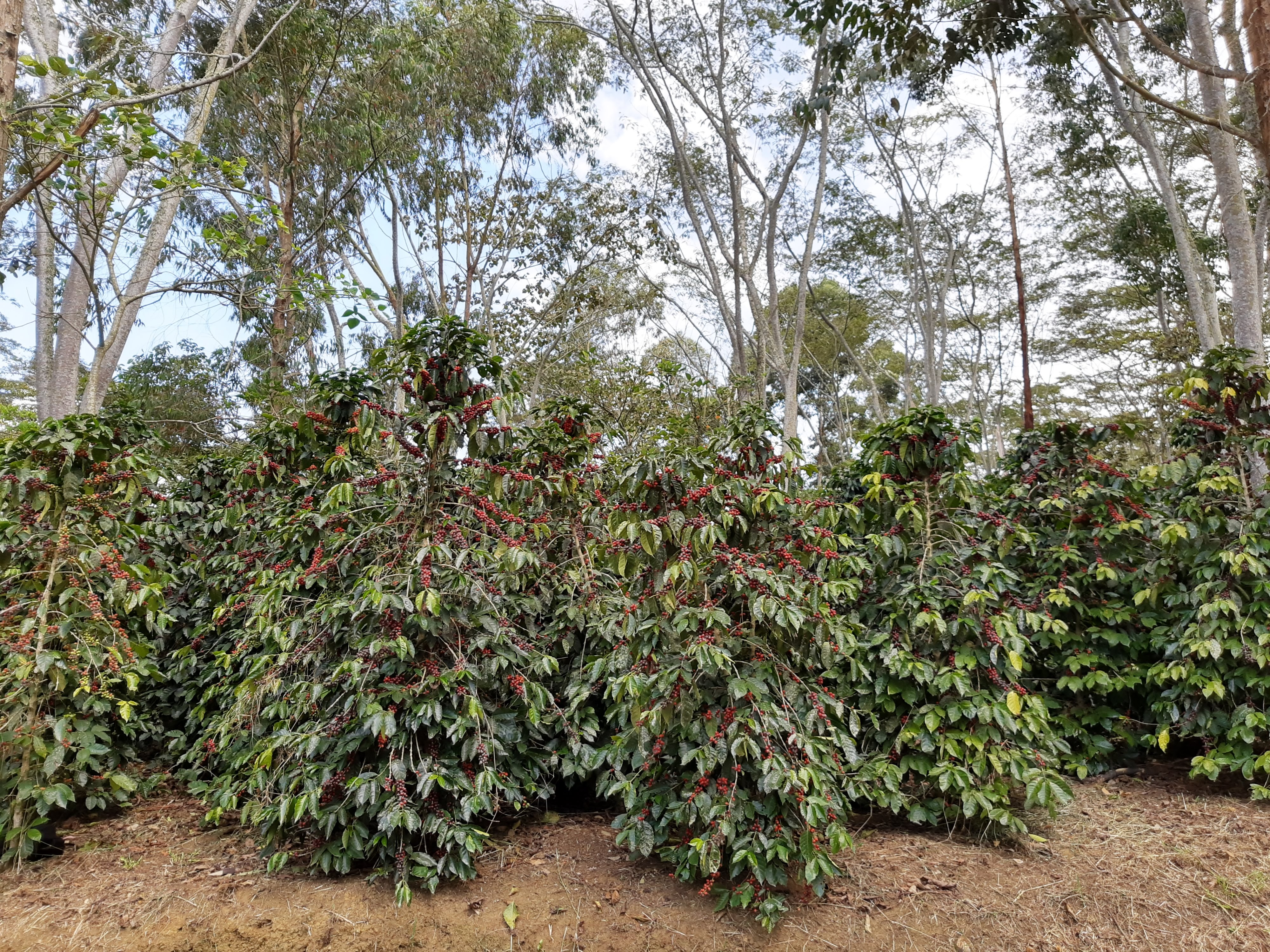 Castillo trees loaded with ripe cherries