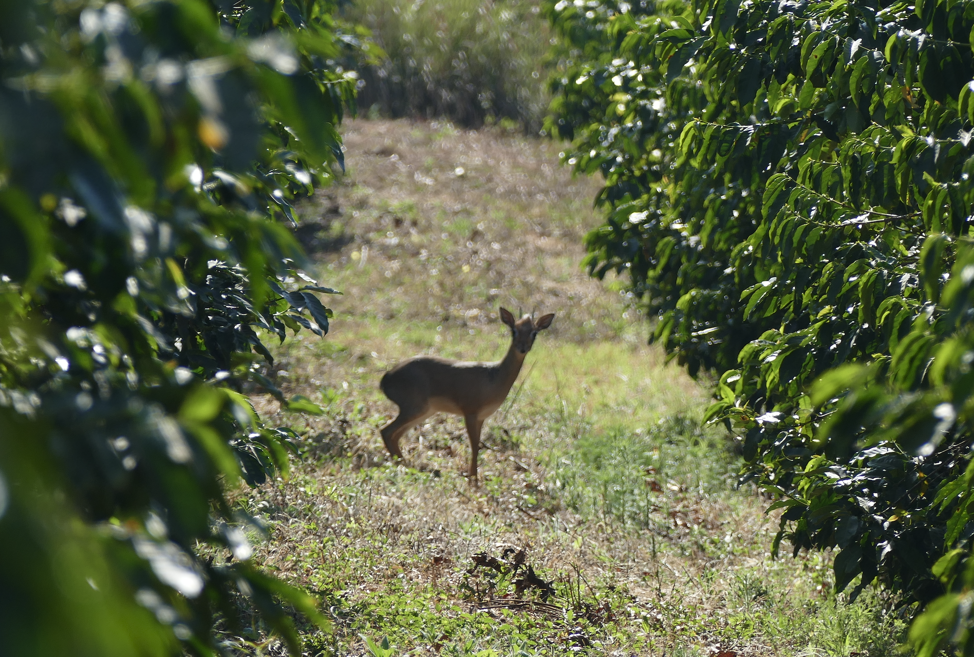 The dik-dik is a small antelope that finds shelter at the farm
