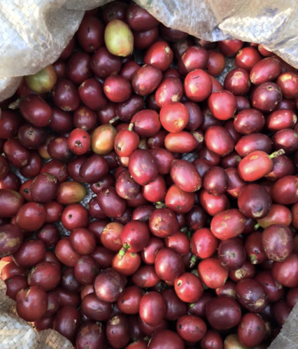 Kaapi Royale Fully Washed Fine Robusta Screen 15