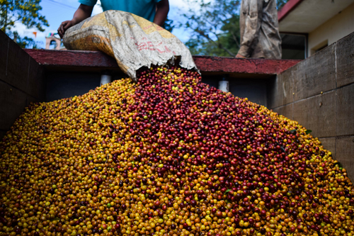 Washed  - SHG Blend Red & Yelow Catuaí and Hybrid  - CONEBOSQUE