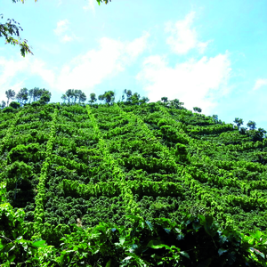Bonkaffee Coffee Farm